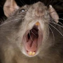 Live rats to be used during protests, Nyeri