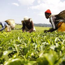 Court grants Kenya Tea Growers better terms