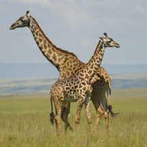 Maasai Mara road protests prompt visitors to cancel trips