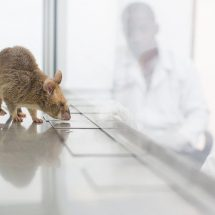 How Apopo rats would be used in diagnosing TB