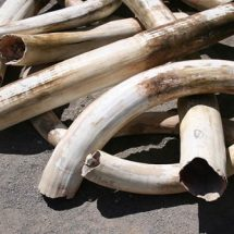 DCI officer arrested in Nairobi while transporting ivory worth Sh300,000