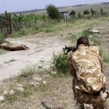 KWS hunting five stray lions, hyenas in Kilifi