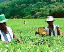 Tea farmers to earn Sh62bn bonus