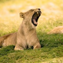 KWS to collar six lions in Nairobi Park