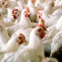 Bird flu kills 11,000 birds in Plateau