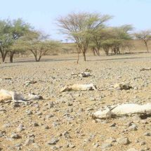 Inclination of death toll make vultures to no longer eat meat in Marsabit