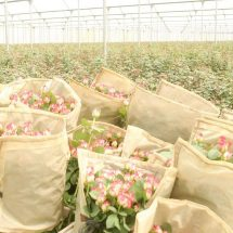 300 flower farm workers protest over sacking, say move violated their rights