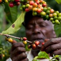 Coffee Farmers' Earnings Rise