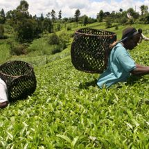 Tea Prices Hit A Month High At The Weekly Sales