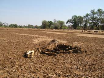 Drought cause death of livestock