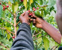 Baringo farmers to get direct market to South Korea for their coffee produce