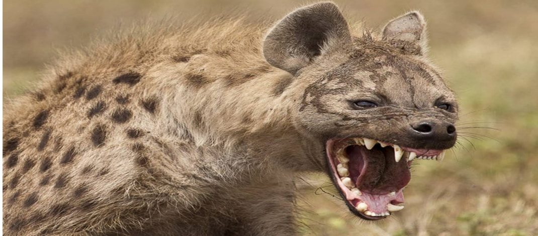 Man amputated after hyena attack