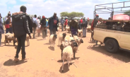 Normalcy resume at the famous Rumuruti livestock auction market as herders decry low livestock prices.